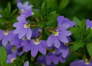 Flor Canhota (Scaevola aemula)