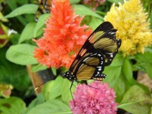 Pragas de Jardim -borboleta