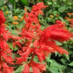 Alegria de jardim (Salvia splendens)