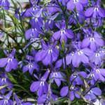 Lobélia (Lobelia erinus L.)
