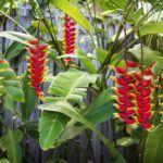 Helicônia ou Bananeira-Ornamental (Heliconia rostrata)
