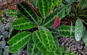 Maranta Tigrina (Calathea tigrina)