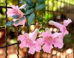 flores sete-léguas