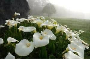 copo-de-leite-flor