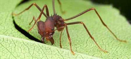 formiga cortadeira