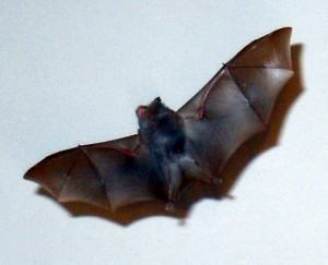 Morcegos : Como evitar os morcegos?