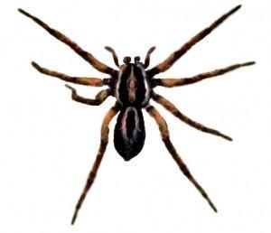Aranhas: medidas  de controle e captura!