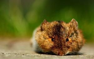 Ratos e Camundongos como exterminar?