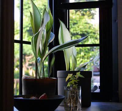 aspidistra como planta de interior