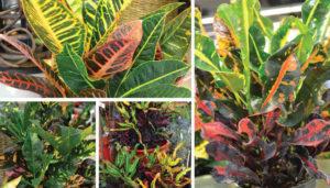Como plantar o Croton (Codieum variegatum)
