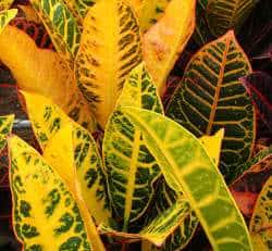 croton codiaeum variegatum yellow petra