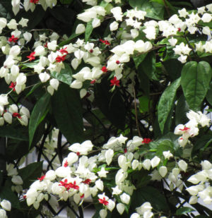 Como plantar a trepadeira Lágrima de Cristo (Clerodendrum thomsoniae)