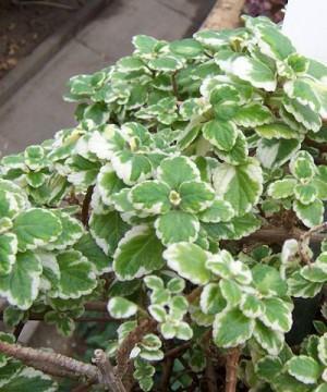 Plectranthus variegatus