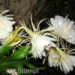 Dama da Noite (Epiphyllum Oxipetalum)