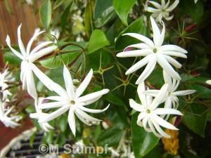 Jasmim Estrela (Jasminum Nitidum)