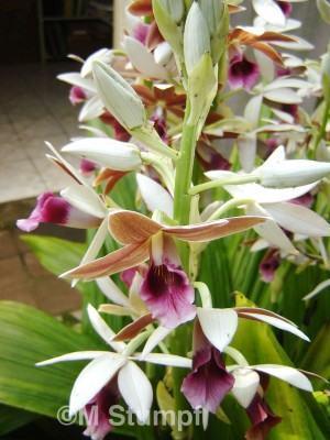 Orquídea Capuz de Freira (Phaius Tankervilleae)