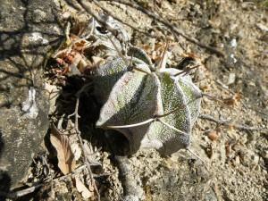 Cacto pedra (Astrophytum ornatum)