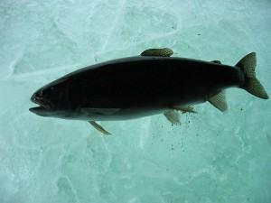 Como congelar Peixes e Frutos do Mar