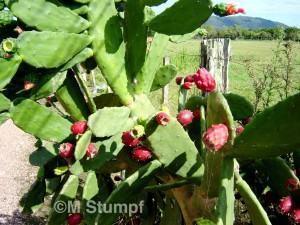 Figo-da-Índia (Opuntia Ficus)