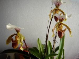 Orquídea Sapatinho ou queixuda (Paphiopedilum)