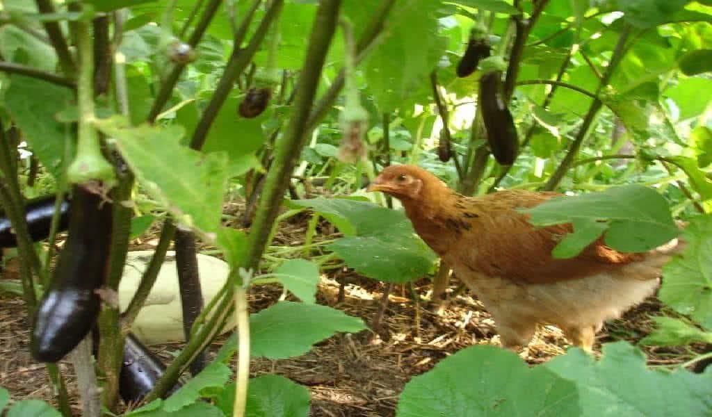 horta e jardim juntos:Galinhas são predadores naturais de muitas pragas da horta