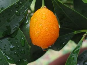 Kumquat ou Laranja Kinkan