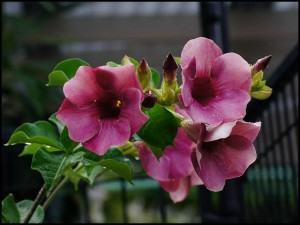 Venenos verdes - Alamanda cor de rosa
