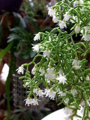 Ripsalis (Rhipsalis neves-armandii)
