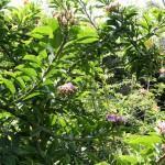 Cacto-de-árvore (Pereskia grandifolia)