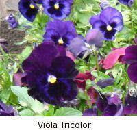 amor perfeito - viola tricolor
