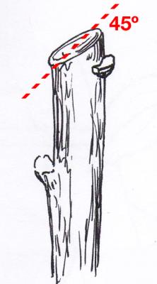 Quando podar, cortar o ramo num ângulo entre 45 a 60 graus
