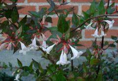 abélia grandiflora paisagismo