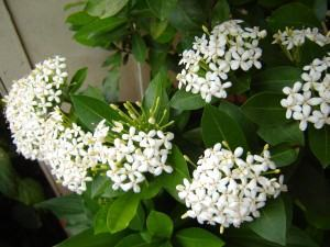 Ixora chinensis alba