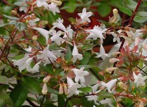 Arbusto Abelia (grandiflora Hort.)