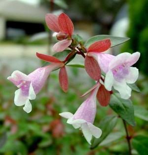 abelia flores
