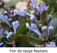 ajuga reptans flor