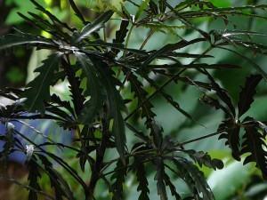 Arália Falsa (Dizigotheca Elegantissima)