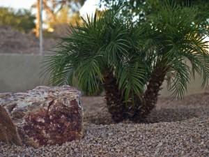Tamareiro do Jardim (Phoenix Roebelinii)