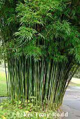 bambuzinho de jardim - bambusa textilis