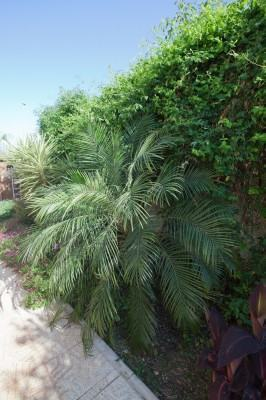 Tamareira de jardim (Phoenix roebelenii)
