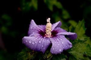 Hibisco da Síria (Hibiscus Syriacus)