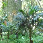 Palmeira Camedórea (Chamaedorea Elegans)