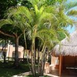 Palmeira Areca (Dypsis Lutescens)