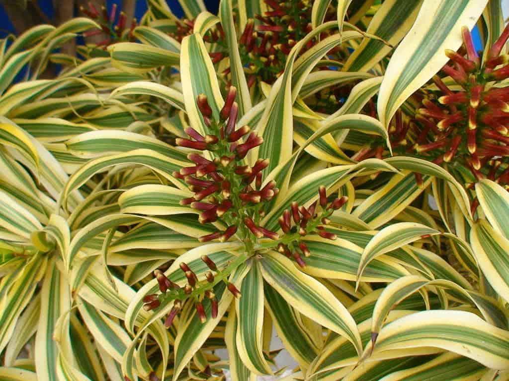 Dracena malaia pleomele reflexa fazf cil for Plantas ornamentales y sus cuidados