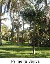 palmeira jerivá ou geribá