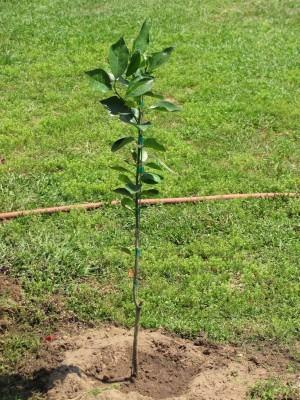 árvores frutíferas - Árvore recém transplantada