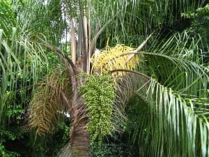 Palmeira Jerivá (Syagrus romanzoffiana)