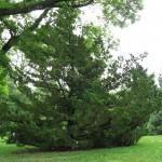 Cipreste Kaisuka (Juniperus chinensis)