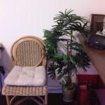 Palmeira Ráfia (Raphis Excelsa)