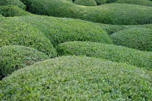 Buxo (Buxus Sempervirens)